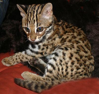 Mokave Cat Breeds - Asian Leopard Cat, Bengals, Desert